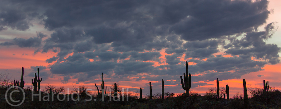 The cactus of Saguaro National Park in Arizona are silhouetted against the Arizona sunset.
