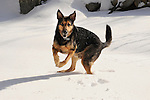 Cosmo, shepherd mix with paws crossed in snow.