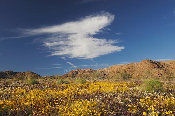 Parish's Gold Poppy (Eschscholzia parishii), Chia (Salvia columbariae), Brown-eyed Primrose, (Camissonia claviformis), Joshua Tree National Park, California, USA