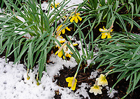 A rare April snow storm covers Daffodils in a suburban garden, Will County, Illinois