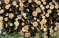 Stack of raw timber, Vermont, USA.<br /> .