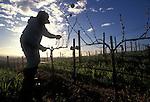 Field worker prunes grape vines in winter