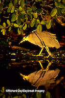 00705-001.16 Black-crowned Night-heron (Nycticorax nycticorax)    FL