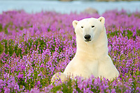 polar bear, Ursus maritimus, relaxing in field of purple fireweed flowers, Epilobium angustifolium, on sub-arctic island at Hubbart Point, Hudson Bay, near Churchill, Manitoba, northern Canada, polar bear, Ursus maritimus