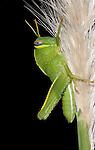 Egyptian locust, Anacridium aegyptium, Morocco, Nymph, Morocco, on stem of Papyrus