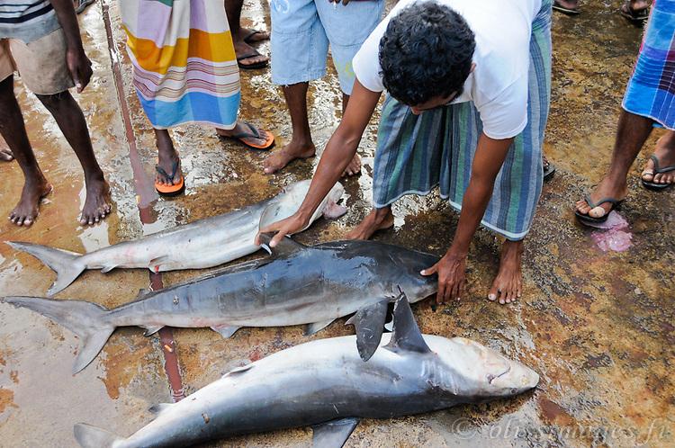 Shark catch at Beruwala Fish Market, Sri Lanka.