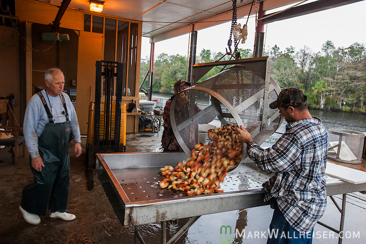 70 year-old Derrell Lynn (L) watches as workers unload cooked stone crab claws for sorting at Lynn Brothers Seafood in St Marks, Florida in Wakulla County, Florida.