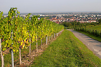 pinot gris vineyard domaine gerard neumeyer alsace france