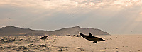 silhouette of long beaked common dolphins, Delphinus capensis, leaping, South Africa