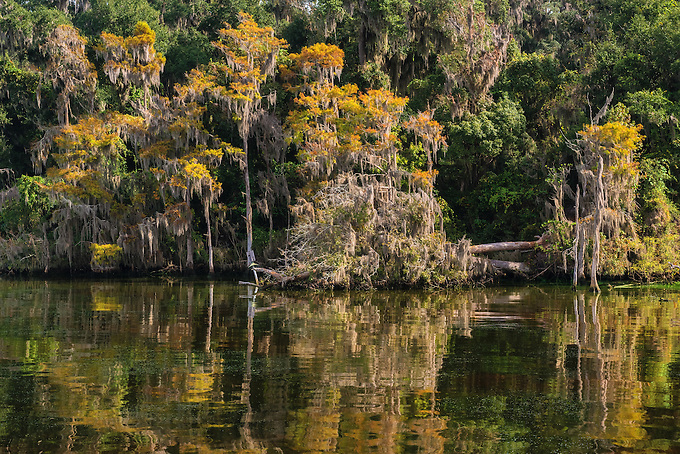Subtle fall colors change in the alpine grove section of the St. John's River, reflected on a calm morning, Florida.