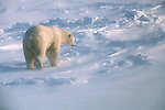 A polar bear walks through the drifting snow in Wapusk National Park, Manitoba, Canada.