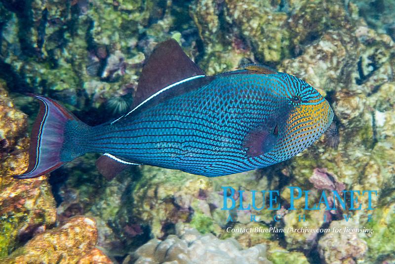 black triggerfish, black durgon, or humuhumu ele'ele, Melichthys niger, displaying color pattern that is usually hidden, Kahaluu Beach Park, Keauhou, Kona, Hawaii ( Central Pacific Ocean )