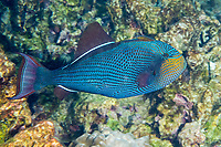 black triggerfish, black durgon, or humuhumu ele'ele, Melichthys niger, displaying color pattern that is usually hidden, Kahaluu Beach Park, Keauhou, Kona, Hawaii ( Central Pacific Ocean )