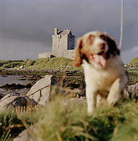 A doy runs near Dunguaire Castle in Galway Bay, County Galway, Ireland