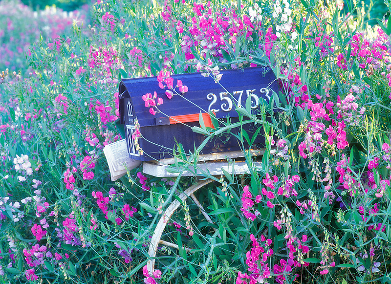 Rural mailbox and sweetpeas. Near Alpine, Oregon.