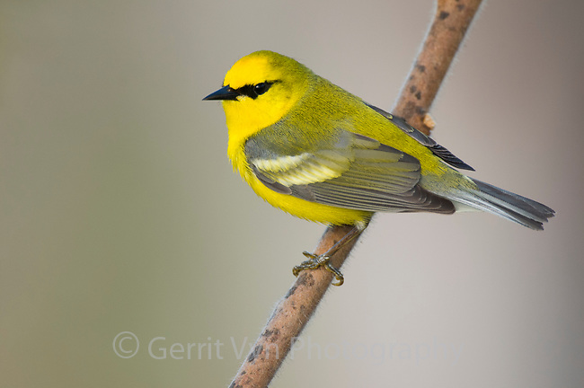 Adult male Blue-winged Warbler (Vermivora pinus) in breeding plumage. Tompkins County, New York. May.