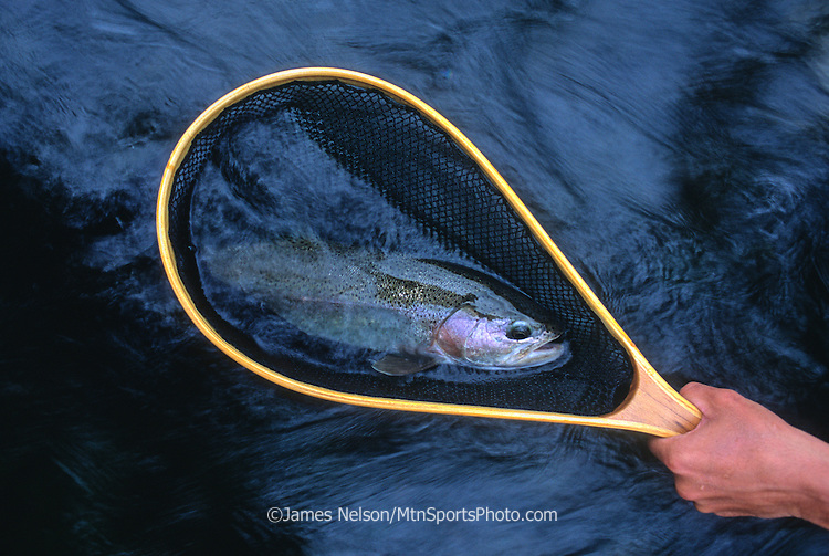 08667-C. Rainbow trout in a fishing net; Henry's Fork, Idaho.