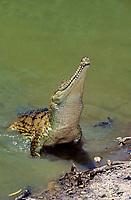 freshwater crocodile, Crocodylus johnstoni or Crocodylus johnsoni, aka Australian freshwater crocodile, Johnstone's crocodile, or freshie, adult, emerging from water, endemic species, Australia