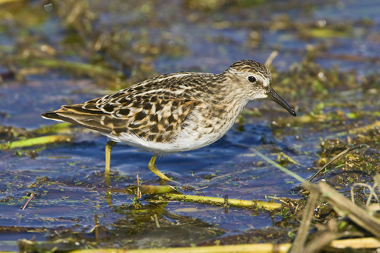 Least Sandpiper walking through some marshy water