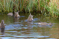Krickente, Krick-Ente, Weibchen bei der Nahrungssuche, gründelnd, Anas crecca, Eurasian teal, common teal, green-winged teal, female, La Sarcelle d'hiver