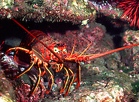 California spiny lobster.(Panulirus interruptus)