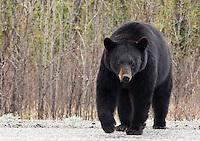 Black bear, Yukon, Canada