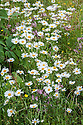 Ox-eye daisies (Leucanthemum vulgare) and Ragged robin (Lychnis flos-cuculi), wild flower meadow, early July.