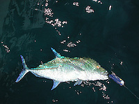 Bluefin Trevalley, Palau, Micronesia.(Multiple values)