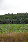 Cornfield and blue spruce trees on an overcast day, near Traverse City, Michigan, MI, USA