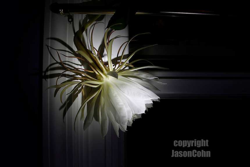 Night Blooming Cereus. Photo by Jason Cohn