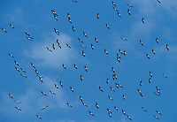 Wood Stork, Mycteria americana, flock in flight, Lake Corpus Christi, Texas, USA