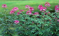 Garden with pink spider flower Cleome hasslerana #6128.