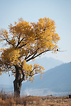 Solitary orange and golden cottonwood tree in the Carson Valley, autumn..Bald eagle sitting on a branch