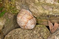 Weinbergschnecke, Weinberg-Schnecke, in Ruheposition an einer Steinmauer, Gehäuse durch Diaphragma verschlossen, Helix pomatia, Roman snail, escargot, escargot snail, edible snail, apple snail, grapevine snail, vineyard snail, vine snail