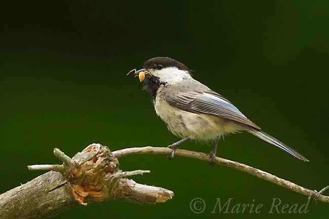 Black-capped Chickadee (Poecile atricapilla) holding prey (spider) in its bill, New York, USA