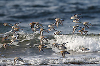Sanderling - Calidris alba and Dunlin Calidris alpina flock