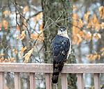 A hawk sits on a deck railing.