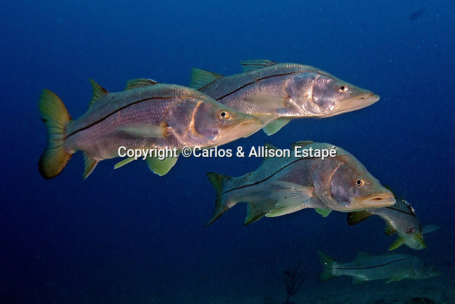 Centropomus undecimalis, Common snook, Florida Keys