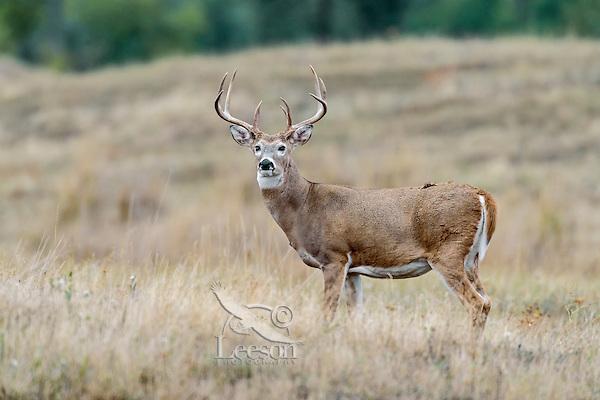 White-tailed deer (Odocoileus virginianus) buck.  Western U.S., Sept.
