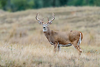 White-tailed deer (Odocoileus virginianus) buck.  Western U.S., Sept.