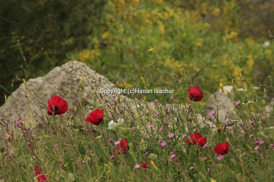 Israel, Wildflowers on Mount Gilboa