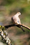 Mourning dove, coast mountain range, Oregon