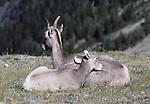 bighorn sheep, ewe and lamb