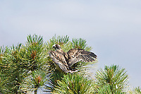 A Short-tailed Hawk (Buteo brachyurus) nestling crash-lands into branches while exercising in nest; Arizona (Nesting Record)