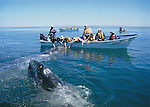 FB 373, Gray whales in Laguna San Ignacio, Searcher Natural History Tours