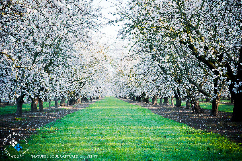 A gorgeous,brisk March morning in the almond orchards of the central valley in California