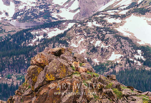 Mshebi100576d art wolfe stock photography 888 973 0011 a bighorn ram rests amidst lichen covered rocks rocky mountain national park colorado sciox Image collections