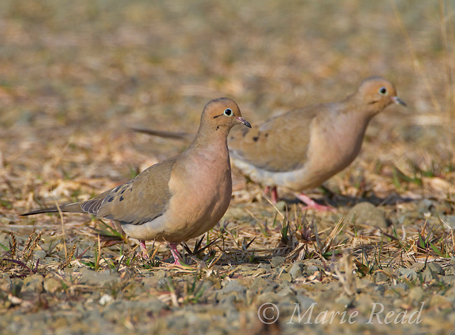 Mourning Dove (Zenaida macroura), pair walking together on the ground, spring, New York, USA