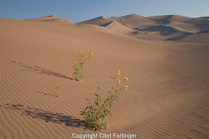 prairie sunflowers (Helianthus petiolaris), Great Sand Dunes National Park, Colorado