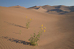 prairie sunflowers (Helianthus petiolaris), Great Sand Dunes National Park, Colorado